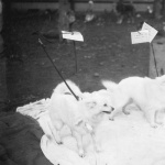 Pomeranians at a show 1923
