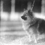 Pomeranian dog 1923