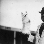 A miniature pomeranian dog 1923